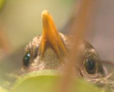 Blackbird (turdus merula) breeding on nest in shrub - close up Stock Footage