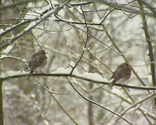 Fieldfares (turdus pilaris) perched on snowy branch in winter garden Stock Footage