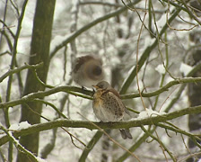 Fieldfares (turdus pilaris) preening on snowy branch in winter garden Stock Footage