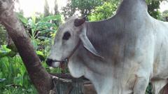 An Asian Zebu Bull Stock Footage