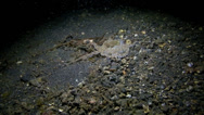 Stock Video Footage of Mimic octopus moving across ocean floor at night