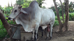 An Asian Zebu Bull and cow Stock Footage