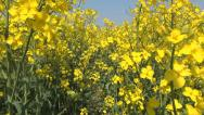 Stock Video Footage of Flying on Rapeseed in Agriculture Field, POV, View, Walking in Yellow Rape