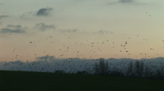 Rooks and crows gather in the winter in England - stock footage