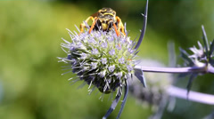 Wasp on thistle Stock Footage