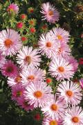 blooming asters - stock photo