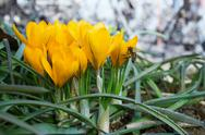 Stock Photo of yellow  crocuses in the spring