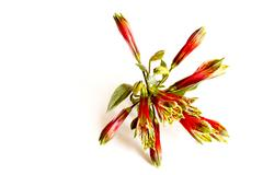 Closeup of red and green alstroemeria on white Stock Photos
