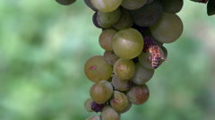 Grape and bee Stock Footage