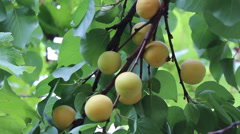 Apricot tree branch with growing fruits Stock Footage
