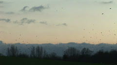Rooks and crows gather to roost from around England in the evening light Stock Footage