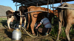 Milkmaid farmer woman milk cow milking machine and take it off Stock Footage