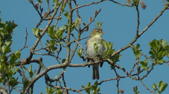 Willow Warbler singing - audio included Stock Footage