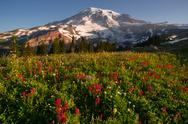 Stock Photo of cascade range rainier national park mountain paradise meadow wildflowers