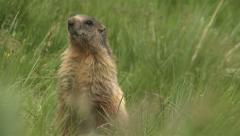 Alpine marmot alert Stock Footage