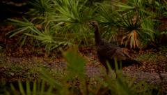 Turkey Trotting in a Grassy Area Stock Footage