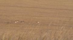 Herd of Deer Crossing a Dry Field Stock Footage