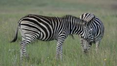 animals. zebras grazing peacefully in the wild Stock Footage