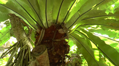 Close-up view of a fern growing on a tree (FERN--1b) Stock Footage