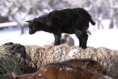 black ball lamb standing on backbone sheep - stock photo