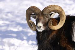 Stock Photo of detail head with antlers mouflon in winter on snow