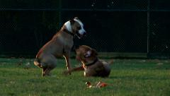 Pit bull dogs playing Stock Footage