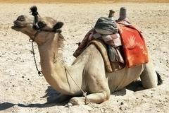 Alone sitting camel in the desert Stock Photos