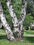 birch tree in green park in town - stock photo