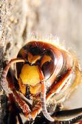 European Hornet (Vespa crabro) - macro shot - stock photo