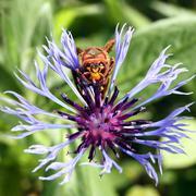 European Hornet (Vespa crabro) with flower thorn - macro shot - stock photo
