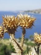 Kroatia - kuiva piikki ohdake lähellä asemapaikkaa Adrianmeren Kuvituskuvat