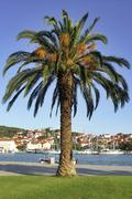 Croatia - palm with fruits in of an early evening harbour - stock photo