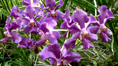 Purple Orchid Flowers. Stock Footage