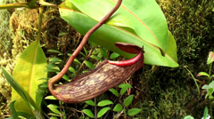 Pitcher of Nepenthes  (Insectivorous Plant). Stock Footage