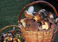 Detail two baskets collected edible mushrooms Stock Photos