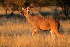 Kudu antelope - stock photo