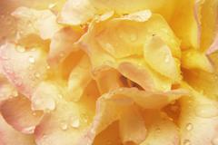 abstract background - yellow rose with water drops - stock photo