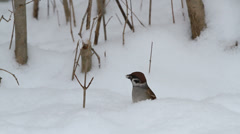 Tree Sparrow (Passer montanus) Stock Footage