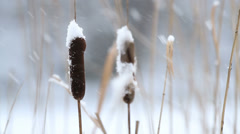 Cattail (Typha) in the winter Stock Footage