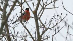 Bullfinch (Pyrrhula pyrrhula) in a tree Stock Footage