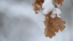 Oak leaves, winter, snowing Stock Footage