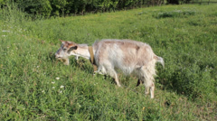 White mature goatgrazing in the meadow Stock Footage