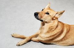 Mongrel dog lying on the floor Stock Photos