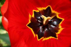 Stock Photo of tulip