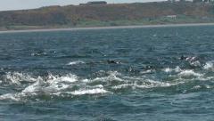 Bottlenose Dolphin hunting salmon Stock Footage