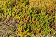 Stock Photo of empetrum or crowberry