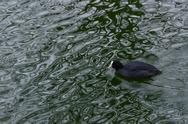 Stock Photo of eurasian coot, fulica atra
