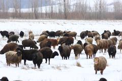 Laiduntavat lampaat (Ovis aries) talvella Kuvituskuvat