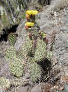 Jointed prickly-pear ocactus Stock Photos