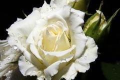 White rose drop - stock photo
